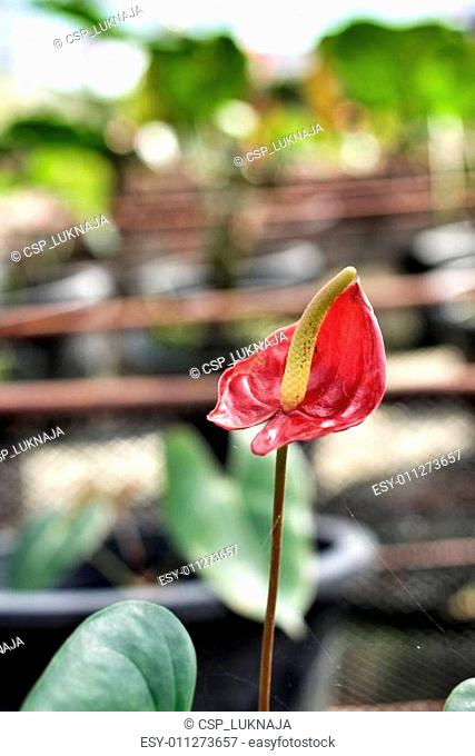 spadix flower