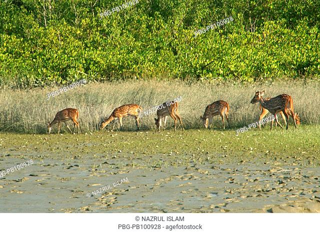 Spotted deer at Sundarbans - a UNESCO World Heritage site, this is the largest littoral mangrove forest in the world that lies on a delta