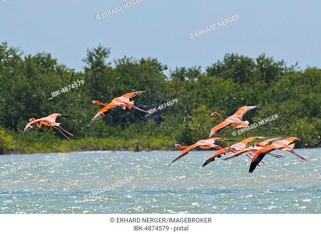American flamingos (Phoenicopterus ruber), flying over water, Biosphere Reserve Ria Lagartos, Yucatan, Mexico