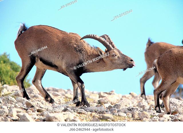 Ibex (Capra pyrenaica), male sniffing female in heat, in the natural park Els Ports. Tarragona. Spain