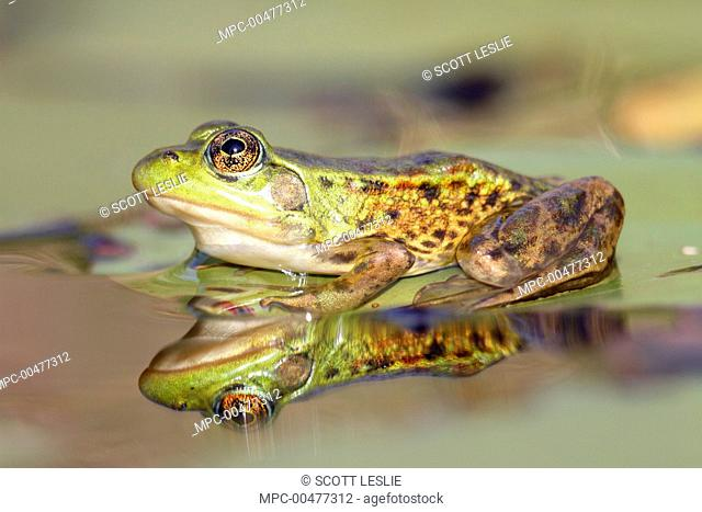 Mink Frog (Rana septentrionalis) with reflection Nova Scoti a, Canada