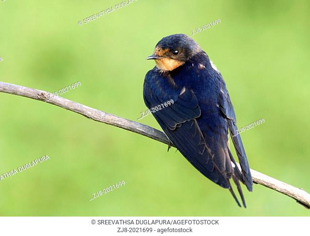 Barn Swallow, California, USA