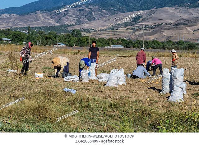 Potatoes harvesting, Atskuri, Samtskhe-Javakheti region, Georgia