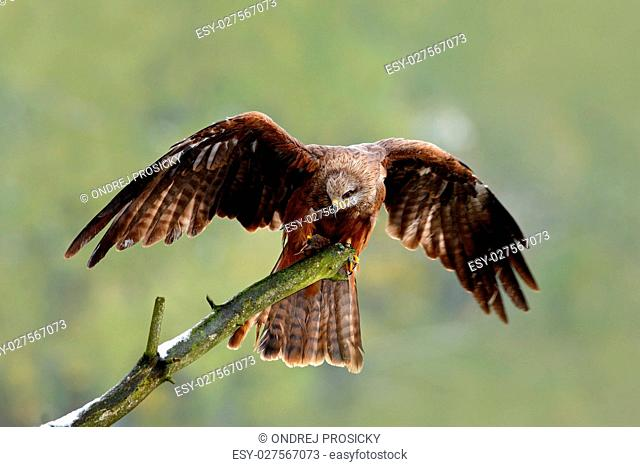 Black Kite, Milvus migrans, brown bird sitting larch tree branch