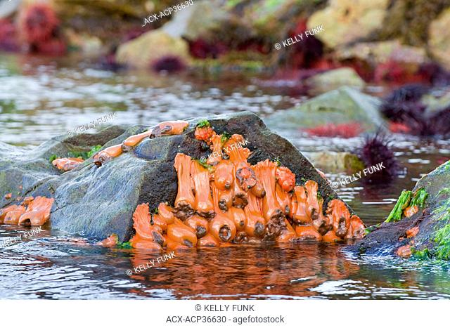 Sea anemones cling to exposed rock at low tide in the Burnaby narrows region of Gwaii Hannas National Park, Haida Gwaii, British Columbia, Canada