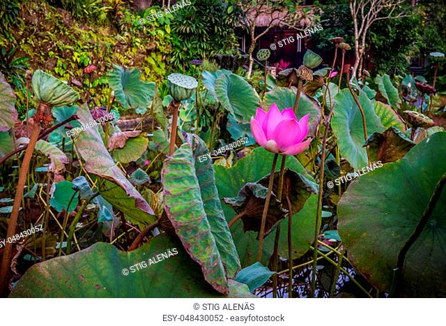 Blooming pink water lily in a tropical pond. The green leaves are all around. Ubud, Bali, April 14, 2018