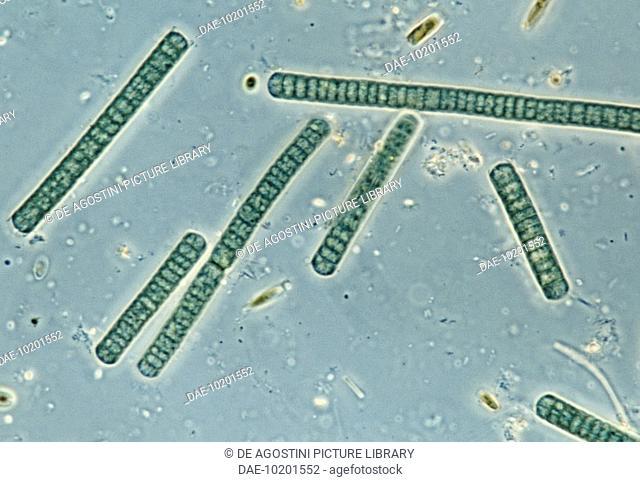 Oscillatoria, genus cyanobacterium, blue-green algae, seen under a microscope