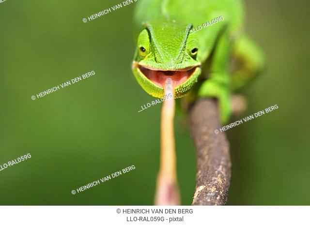 Flap-necked Chameleon Chamaeleo dilepis catching prey, Midlands, KwaZulu-Natal Province, South Africa