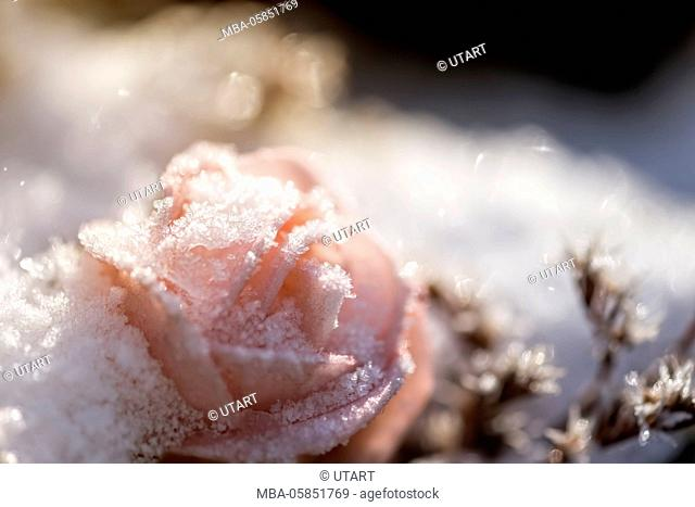 Wintry scene, with hoarfrost covered pink rose in the snow, back light