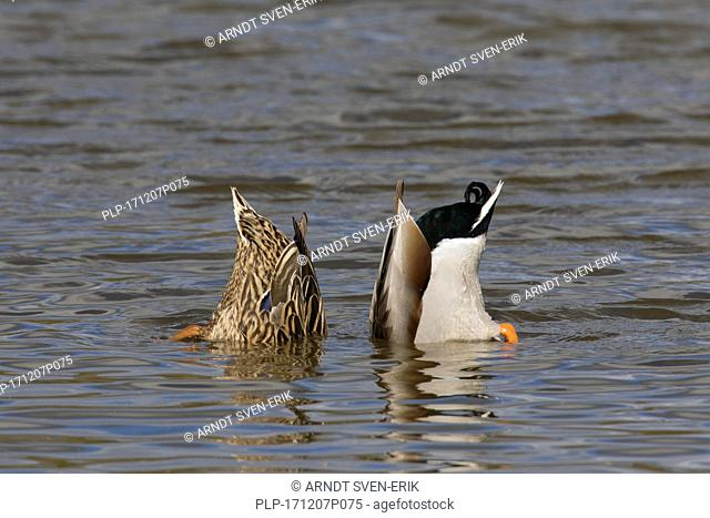 Mallard duck (Anas platyrhynchos) and female upend dabbling in lake to feed underwater