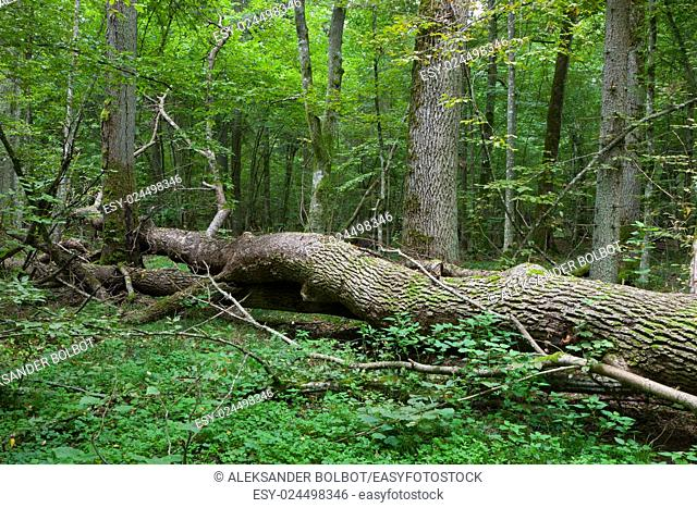 Autumnal deciduous stand with dead tree partly declined in foreground,Bialowieza Forest,Poland,Europe