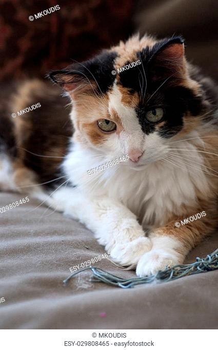 Stock photo of a calico cat sitting on a couch