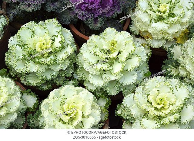 flowers that look like cabbage heads are known as ornamental cabbages, Brassica oleracea. There are actually rosettes of colourful foliage that highlight fall...