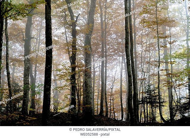 Beechwood (fagus sylvatica). Ordesa valley. Ordesa National Park and Monte Perdido. Pyrenees. Huesca. Aragon. Spain