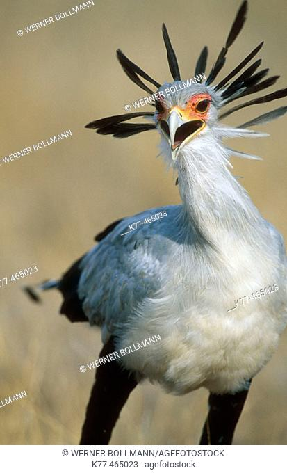 Secretary Bird (Sagittarius serpentarius). Masai Mara G.R., Kenya