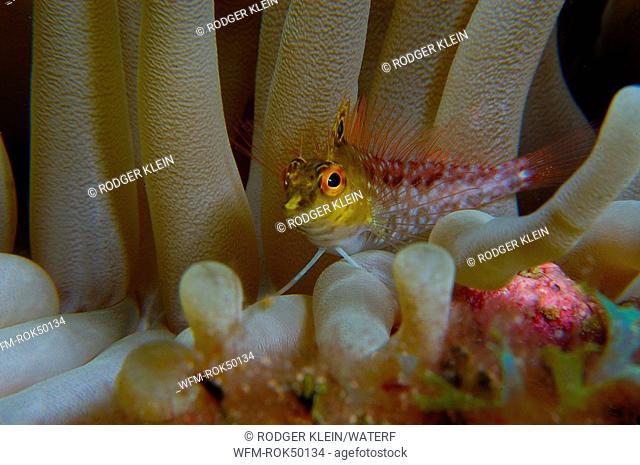 Diamond Blenny, Malacoctenus boehlkei, Caribbean Sea, Turks Caicos