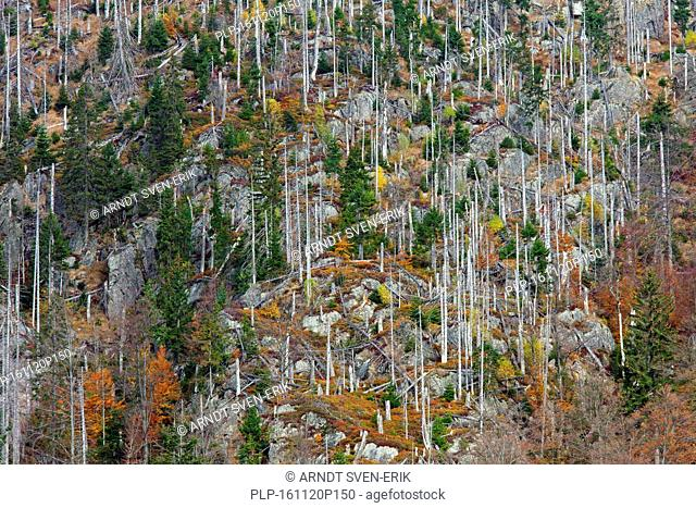Killed spruce trees afflicted by European spruce bark beetle (Ips typographus L.) infestation on Rachel mountain, Bavarian Forest National Park, Bavaria
