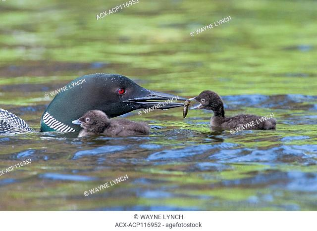 Adult common loon (Gavia immer) feeding two-week old chicks, central Alberta, Canada