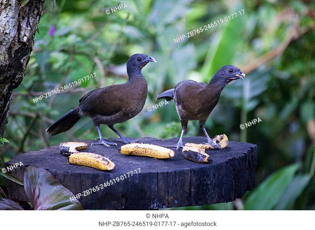 Gray-headed Chachalaca (Ortalis cinereiceps). Pair feeding on ripe bananas put out on a garden bird feeding station. Costa Rica
