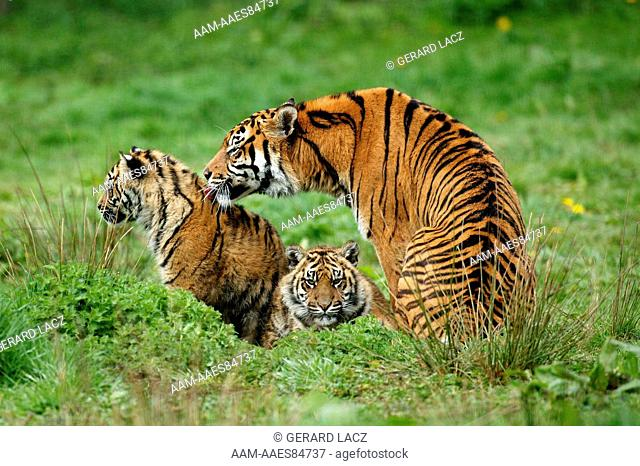 Sumatran Tiger, Panthera Tigris Sumatrae, Mother With Cub