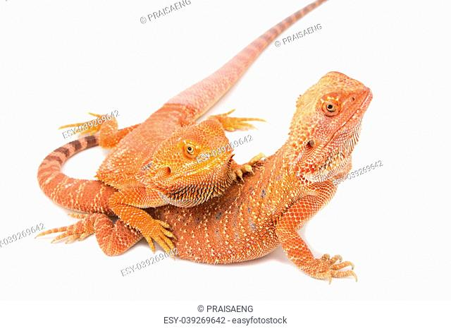 two bearded dragon mating on white background