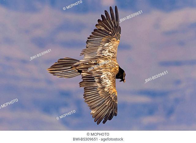 Lammergeier, Bearded Vulture (Gypaetus barbatus meridionalis), gliding, South Africa, Kwazulu-Natal