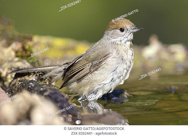 Eurasian Blackcap (Sylvia atricapilla), side view of an adult female standing in a pond
