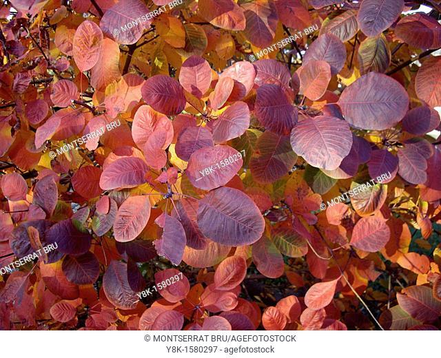 Pale reddish purple leaves