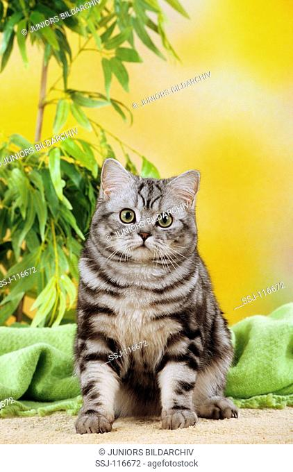 young British Shorthair Cat - silver tabby