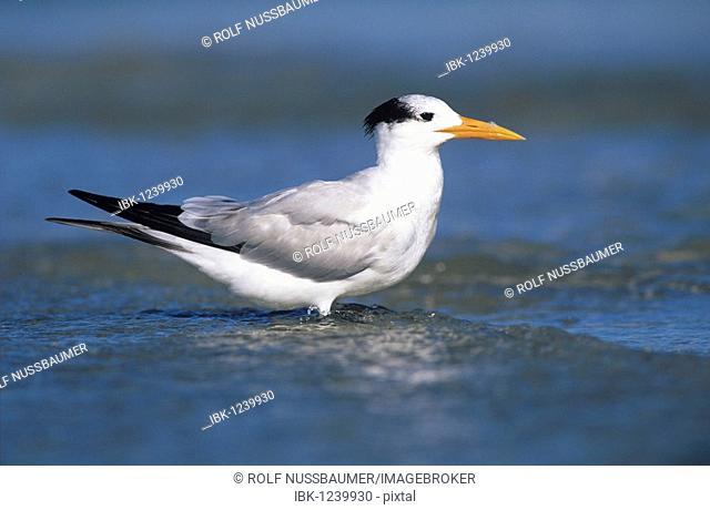 Royal Tern (Sterna maxima), adult in winter plumage, Sanibel Island, Florida, USA