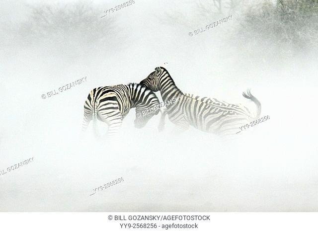 Burchell's zebra (Equus quagga burchellii) in the dust - Etosha National Park, Namibia, Africa