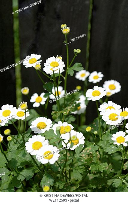 White Feverfew blossoms along a wooden fence