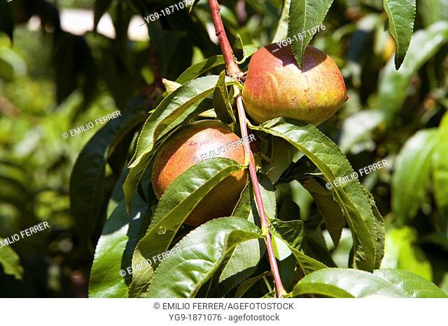 Nectarine on a tree  LLeida  Spain