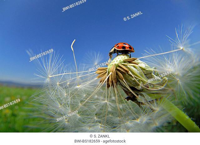 multicoloured Asian beetle (Harmonia axyridis), on dandelion (Taraxacum officinale), Germany, Thueringen