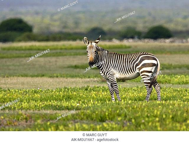 Cape Mountain Zebra (Equus zebra zebra) in coastal national game reserve in South Africa. Looking straight into the camera