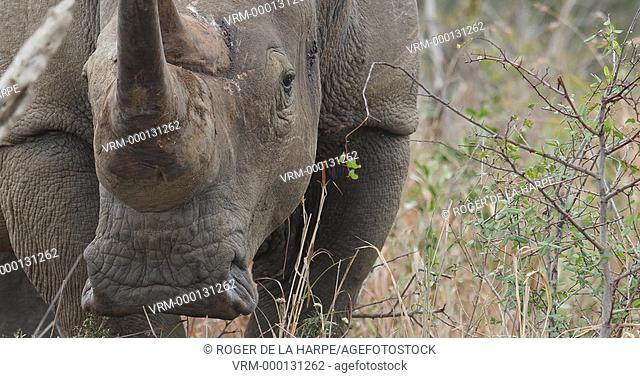 White Rhinoceros or Square-lipped Rhinoceros or rhino(Ceratotherium simum) bull rubbing its horn on the ground to make territory
