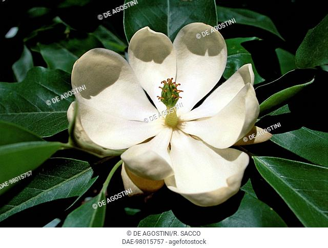 Magnolia Cylindrica Stock Photos And Images Age Fotostock