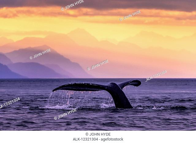 Humpback Whale (Megaptera novaeangliae) at sunset, Lynn Canal, Chilkat Mountains, Inside Passage, near Juneau; Alaska, United States of America
