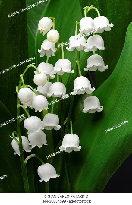 Lily of the valley or Convallaria majalis L