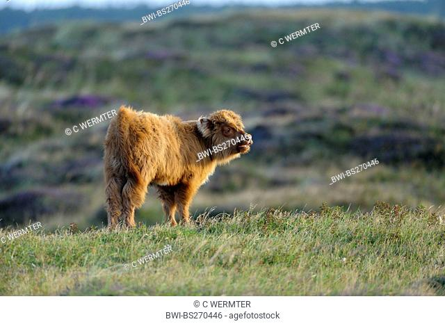 domestic cattle Bos primigenius f. taurus, calf of a highland cattle standing in a meadow yelling, Netherlands, Northern Netherlands, Netherlands, Texel