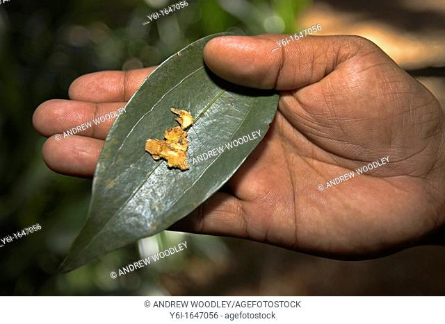 Cinnamon leaf and aromatic tree bark which is ground to make cinnamon spice Sahakari Spice Farm Ponda Goa