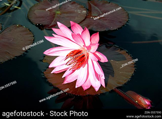 Pink lotus and leaves on the pond