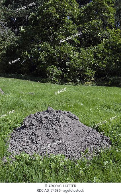 European Mole hill in lawn North Rhine-Westphalia Germany Talpa europaea