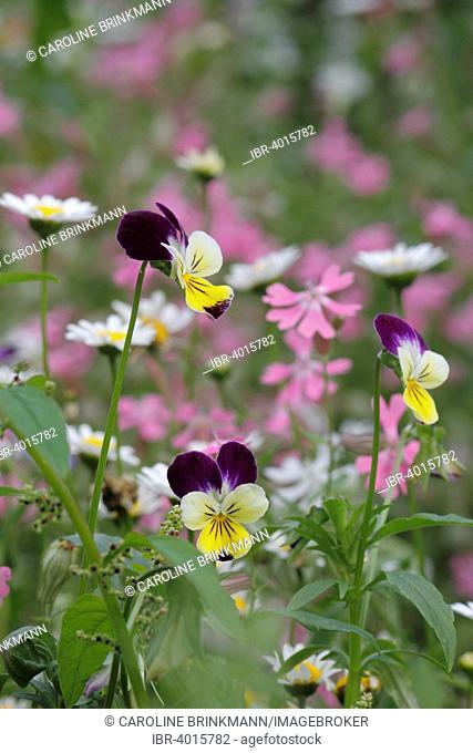 Horned Violet (Viola cornuta)