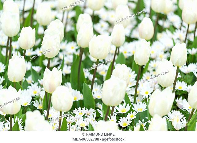 White tulpis in spring, Lisse, South Holland, Netherlands