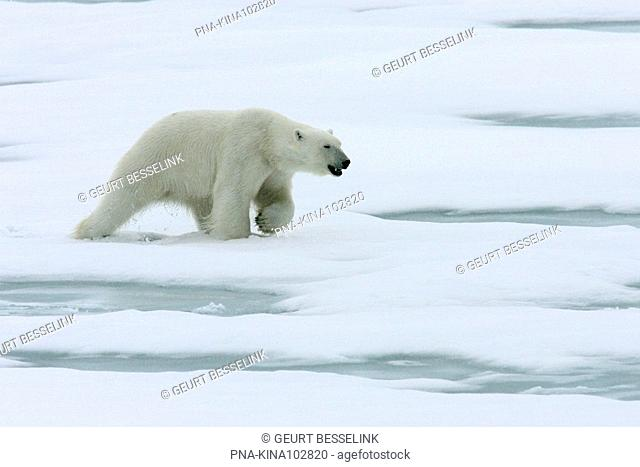 Polar bear Ursus maritimus - Spitsbergen, Svalbard, Europe
