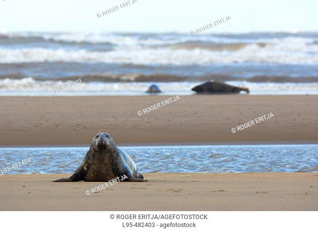 Male Grey Seal (Halichoerus grypus) on beach, Donna Nook National Nature Reserve, England. UK
