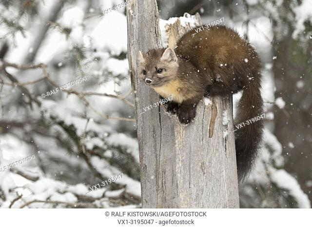 American Pine Marten (Martes americana) in winter during snowfall, sitting on top of a broken tree, Yellowstone NP, USA.