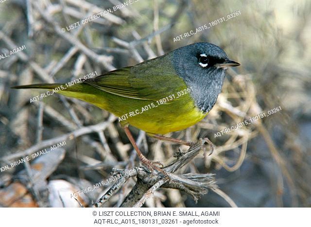 MacGillivray's Warbler, Geothlypis tolmiei