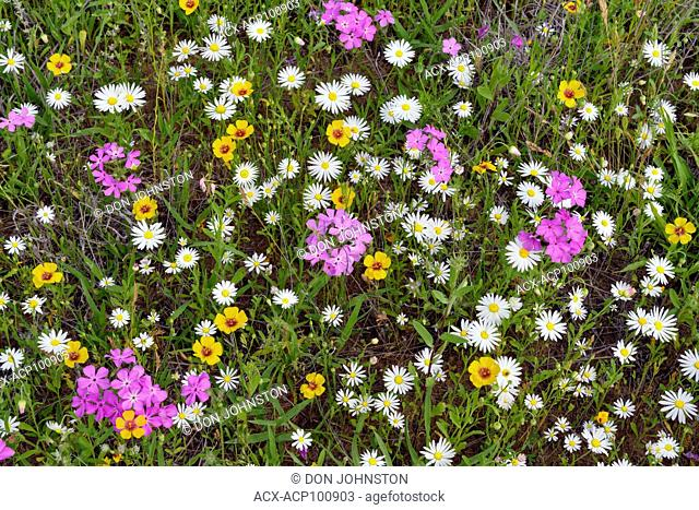 Roadside wildflowers along ranch road 152 featuring phlox, daisy and winecup, Llano County, Texas, USA